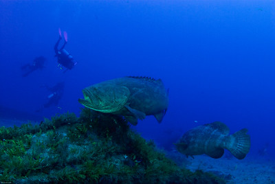 Goliath Grouper Aggregation - Jupiter 2009