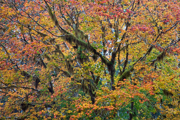 Maples and Moss