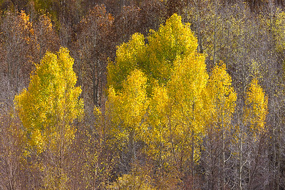 Afternoon Aspens