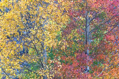 Multicolored Aspen
