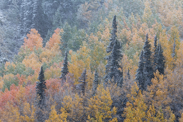 Autumn Blizzard I