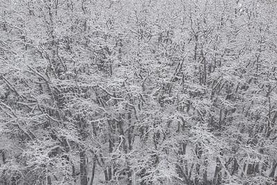 Oak Blizzard