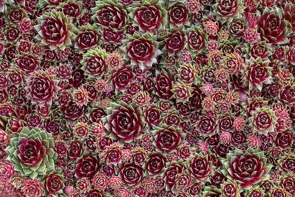 Red Hens and Chicks