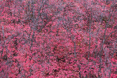 Pink Maples