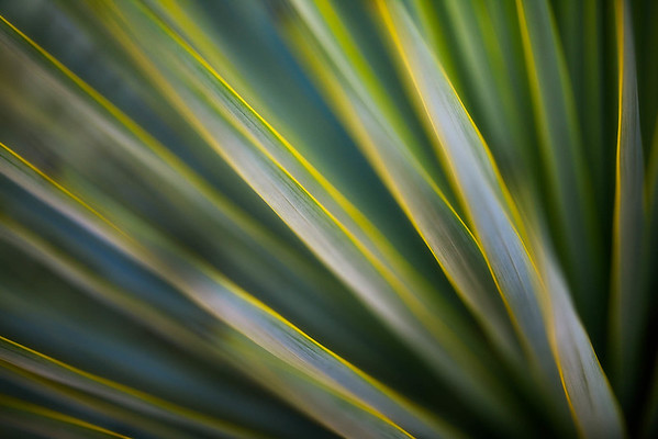 Green and Gold Yucca