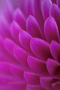 Soft Petal
