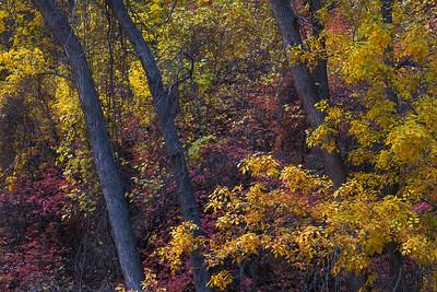 Zion Cottonwoods