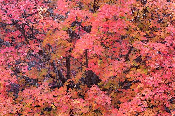 Blazing Maple