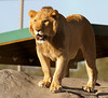 Lions_Tigers_Bear_0209