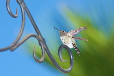 Hummingbird 6-21