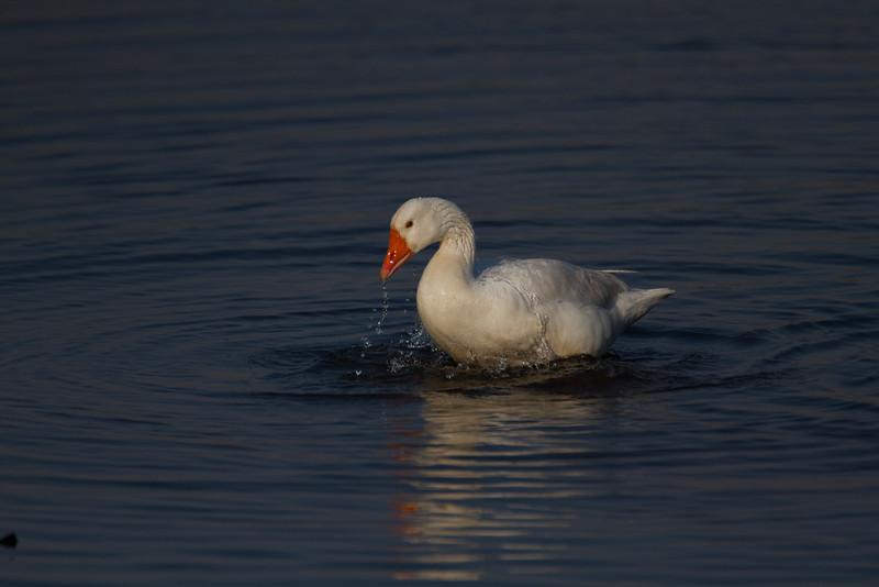 Domestic Greylag Goose
