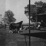 1964c Horses 01