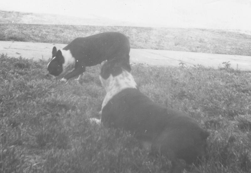 1968c Dogs 01