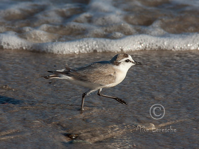 R 246 White-fronted Plover