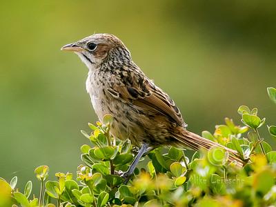 (R 661) Cape Grassbird