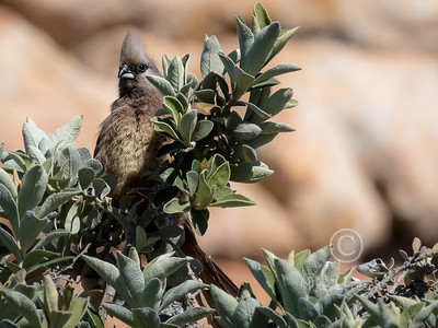 (R 424) Speckled Mousebird