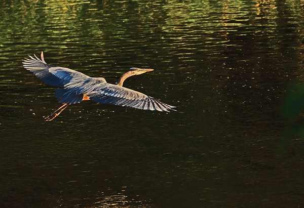 Rooks Park Heron in Colorful Light on Mill Creek, 8-3-6