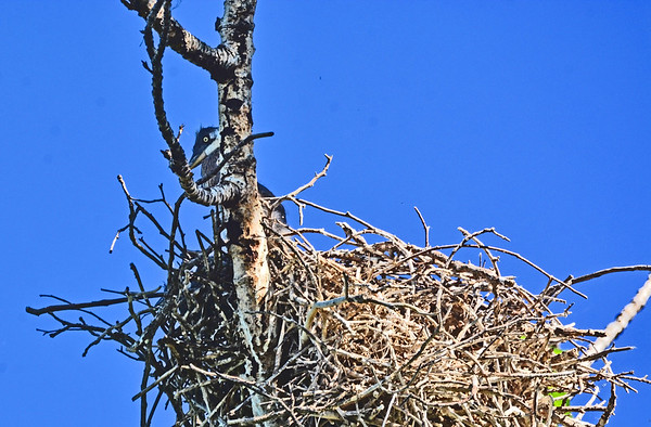 Rooks Park's Nearby Heron Nest_5-23-17