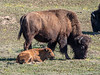 Female bison and calf