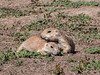 Prairie dog pair