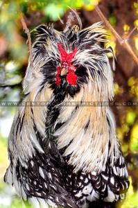 sir-gaga-rooster_7357