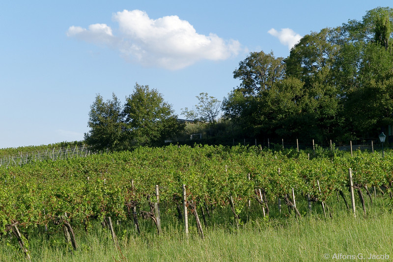 "About Vineyards and Winemaking at the ""Nußberg"" in Vienna, Austria"
