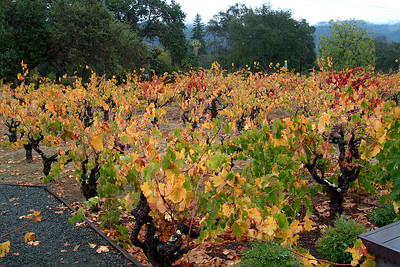 Old vines at Wellington Winery in Glen Ellen, Sonoma