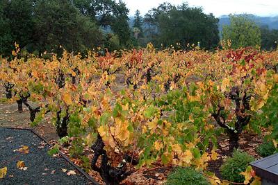 Old vines at Wellington Winery in Glen Ellen, Sonoma