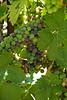 Old Vines Zinfandel grapes undergoing verasion (color change)