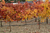 Syrah vineyard - Concannon Vineyards