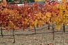 Syrah vineyard - Concannon Vineyards