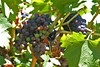 Red wine grapes toward the end of veraision (turning colors).