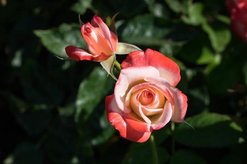 Rose Garden 8.2018-0817.jpg