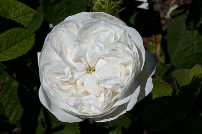 """Rose de Damas """" Mme Zoetmans"""""""