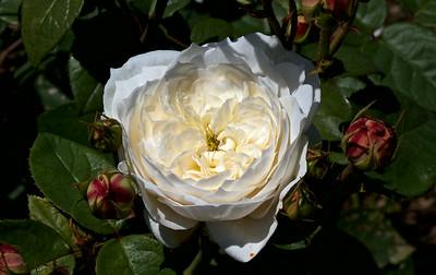 Rose Fair Bianca ( David Austin)