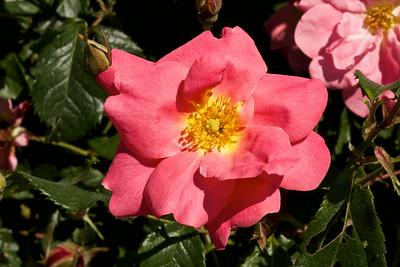 Rose Simon Fraser