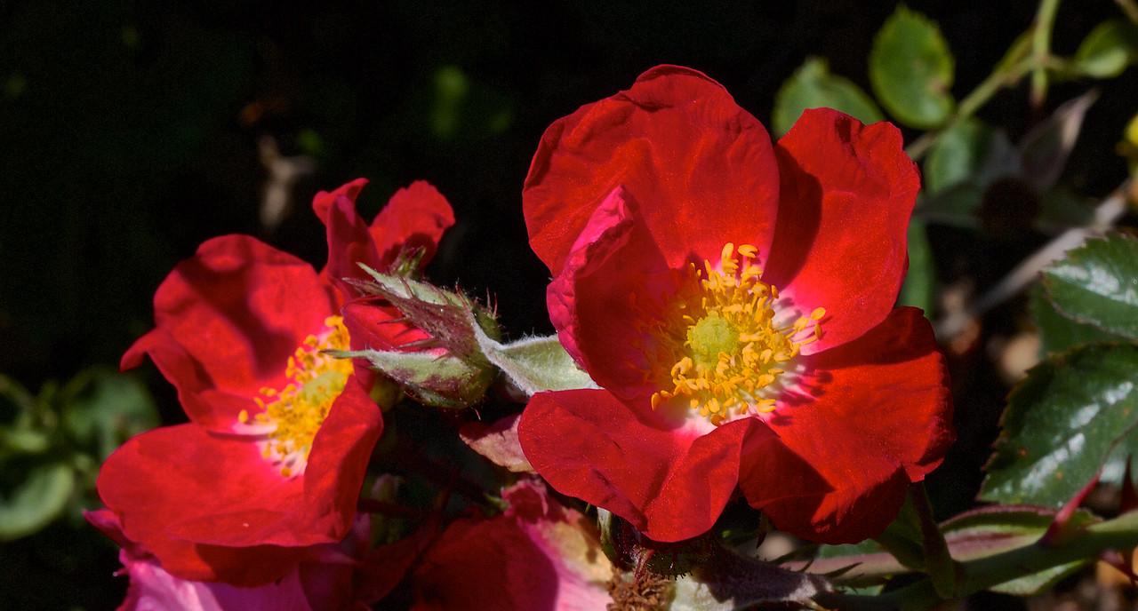 "Rose Rouge "" No Name"""