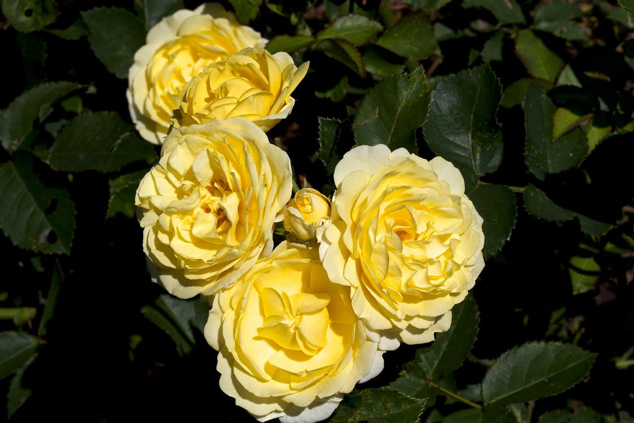 Rose Golden Shower