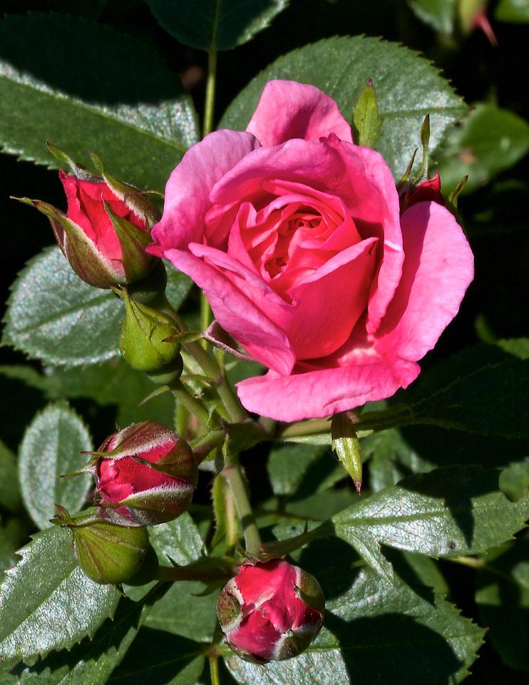 Rose Morden Belle