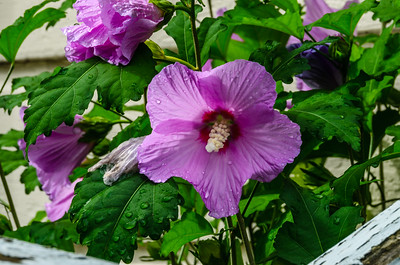 Rose of Sharon, after the rain