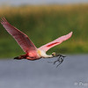 Roseate Spoonbill with stick