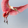 Roseate Spoonbill making a landing