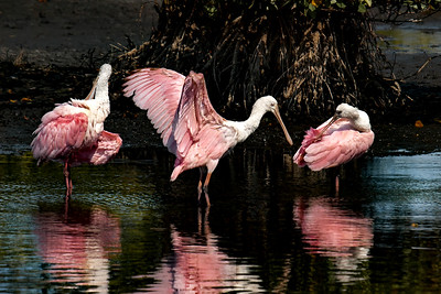 Juvenile Roseate Spoonbills at Merritt Island National Wildlife Refuge, Florida