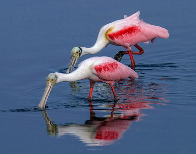 Juvenile and Roseate Spoonbill - Merritt Island National Wildlife Refuge