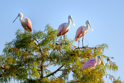 Juvenile and one adult Roseate Spoonbills