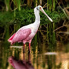 Roseate Spoonbill at VieraWetands
