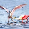 Adult Roseate Spoonbill teaching a lesson to its young!