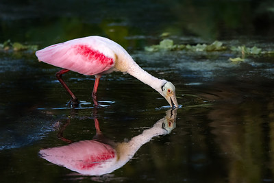 Roseate Spoonbill at Orlando Wetlands Park, Florida