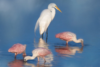 Great Egret with Juvenile Roseate Spoonbills
