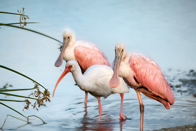 Roseate Spoonbills and White Ibis at Orlando Wetlands Park